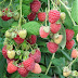 INIA recalcó importancia de contar con plantas de calidad en nuevos huertos de berries