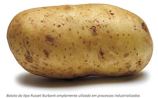 Batata do tipo Russet Burbank amplamente uilizada em processos industrializados