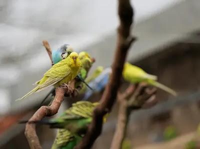 نصائح للوصول بفراخ طيور البادجي إلى بر الأمان
