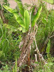 Infection Cycle of Banana Bunchy Top Virus Disease