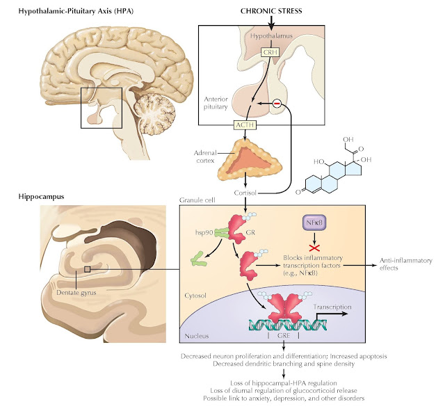 GLUCOCORTICOID REGULATION OF NEURONS AND APOPTOSIS