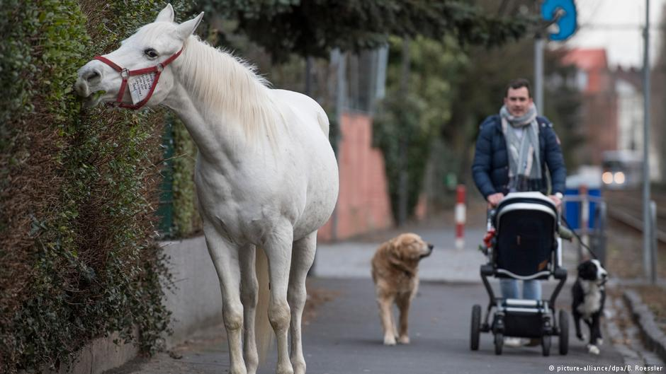 Horse takes daily stroll through Frankfurt — without owner