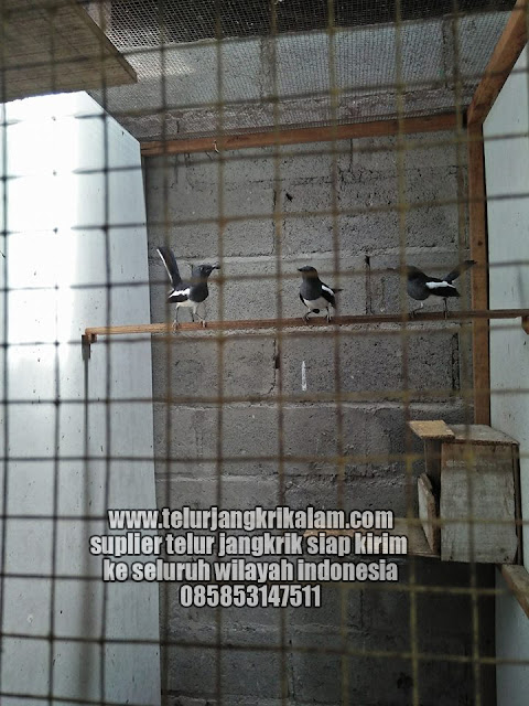 Download Suara Kacer Betina Mp3