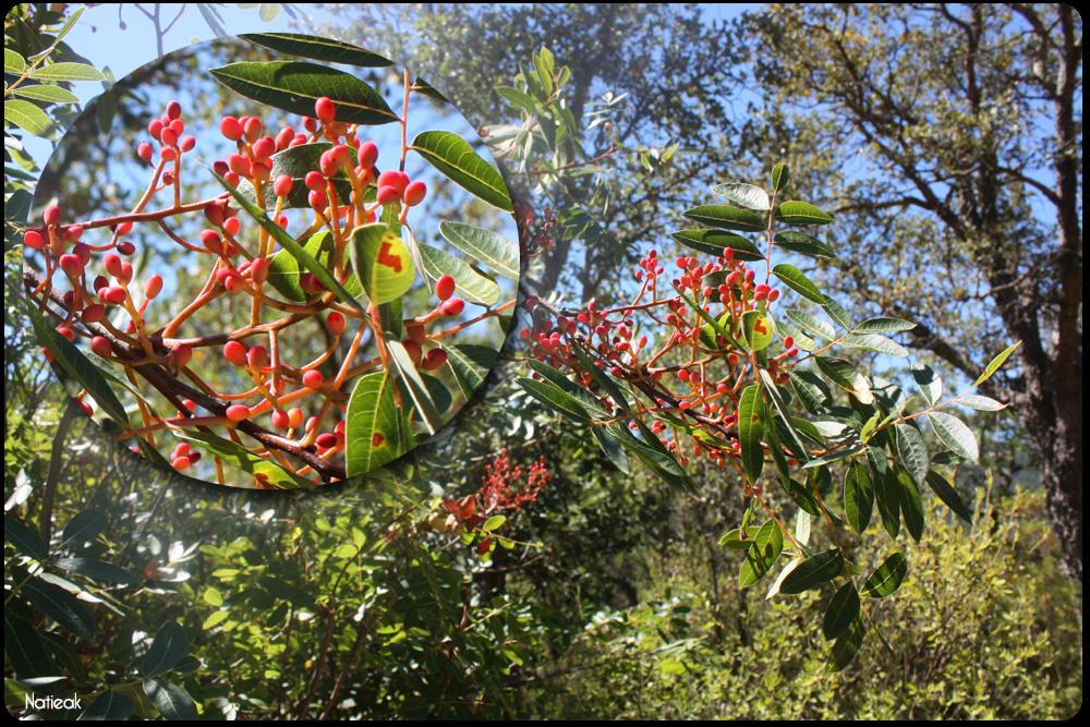 arbre de térébenthine dans le Massif d'Esterel