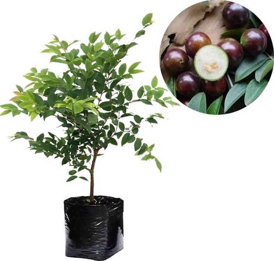 Tanaman Buah Anggur Pohon JABOTICABA Palembang