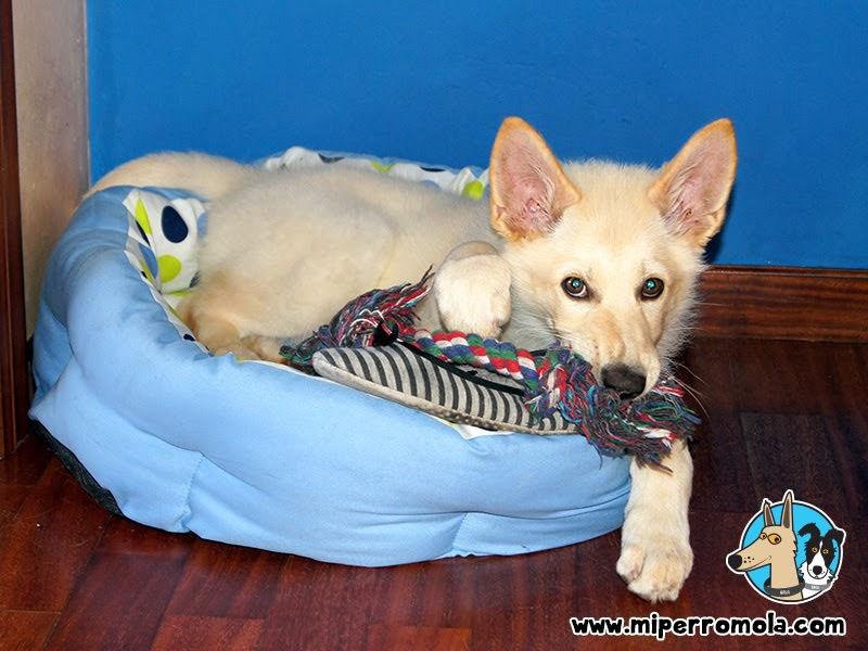 Can de Palleiro en su cama para perro con varios juguetes