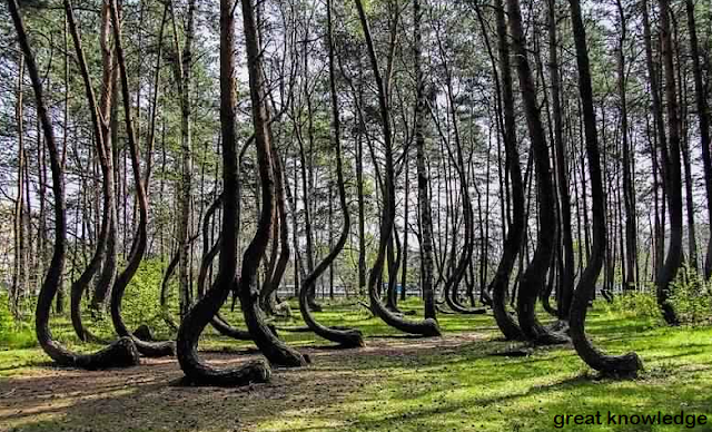 Dancing forest in Russia