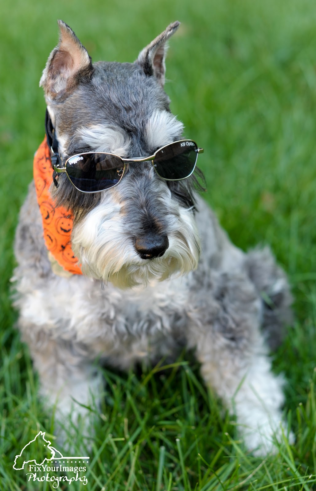 1000 Images About Schnauzer On Pinterest Keep Calm