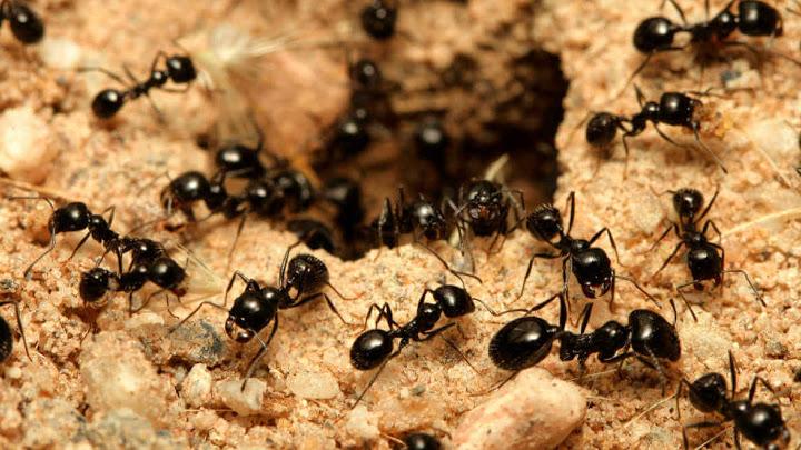 Hormigas negras en abundancia