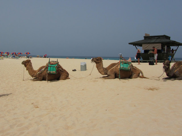 Cammelli sulla Spiagga a Fuerteventura