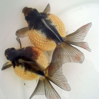 Jenis Ikan Hias dan Harganya - Ikan Maskoki