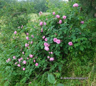 rosa confetture petali secchi tisane erbe aromatiche lavanda fusi di lavanda ghirlande ed altro alla fattoria didattica dell ortica a Savigno Valsamoggia Bologna in Appennino vicino Zocca