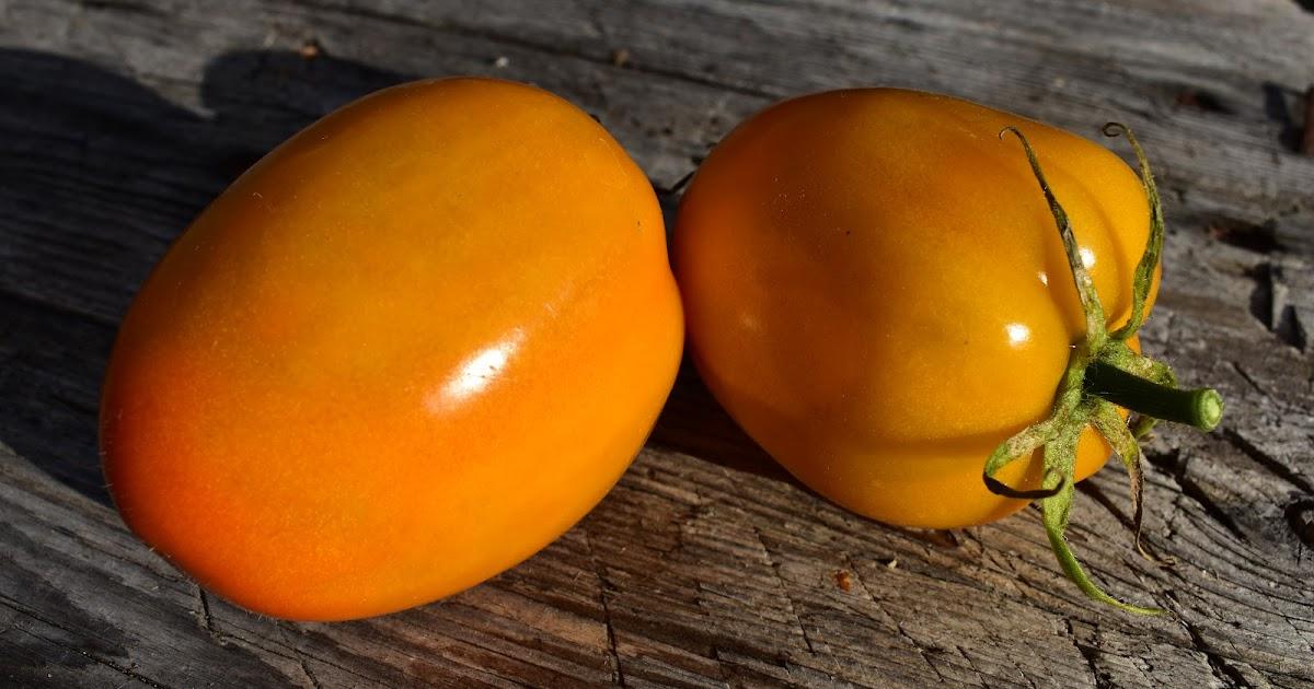 Tomaatti Lajikkeet