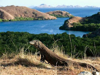 Komodo Island Tour Package, Visiting Ancient Animals in Eastern Indonesia