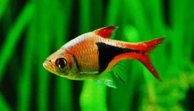 Ikan Harlequin Rasbora