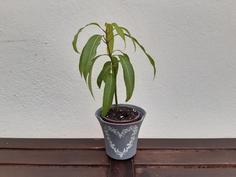Alberello di mango cresciuto da seme
