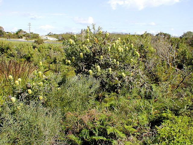 Coastal heath with Saw Banksia Banksia serrata, Iluka, New South Wales, Australia. Photo by Loire Valley Time Travel.