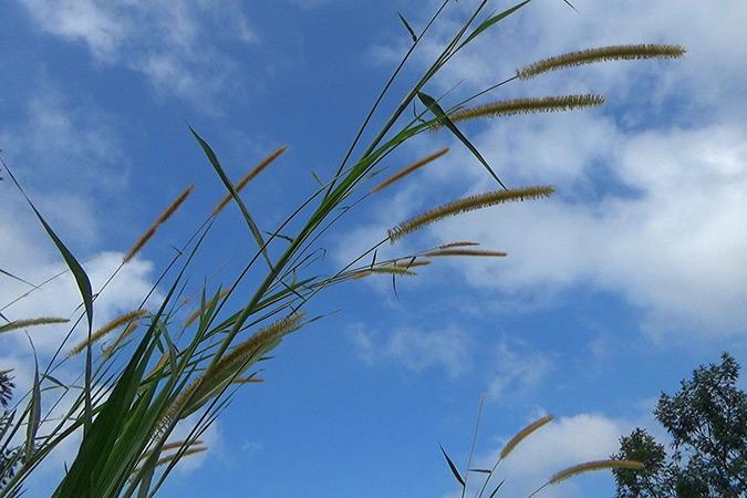 Dlium Elephant grass (Pennisetum purpureum)
