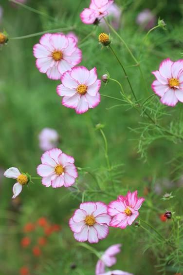 Flores de Cosmos en Jardin Claude Monet en Giverny en otoño