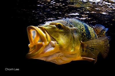 Karakteristik Ikan Pbass
