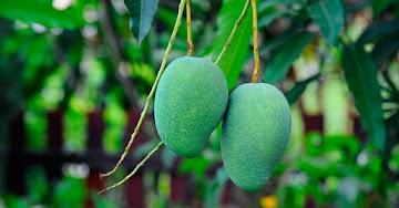 Os benéficos da manga verde na prevenção e tratamentos de doenças