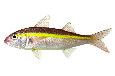 Jenis - Jenis Ikan Air Laut Ekonomis Penting [Bagian 15]