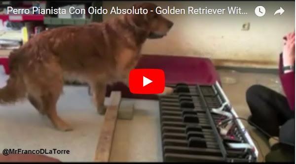 Perro pianista con oído musical y sin truco