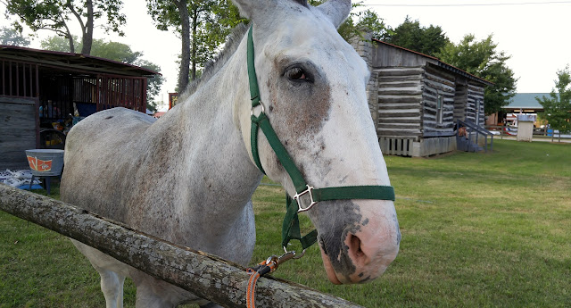 Horse at the county fair