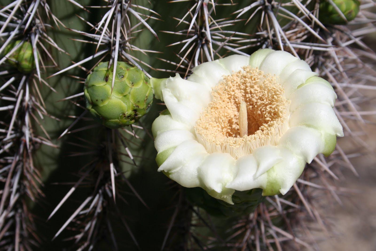 Saguaro Flower Power Project - Saguaro National Park (U.S ... |Saguaro Cactus Flowers