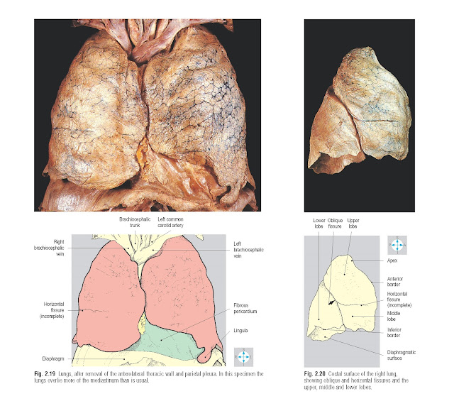 Lungs, after removal of the anterolateral thoracic wall and parietal pleura. In this specimen the lungs overlie more of the mediastinum than is usual. Costal surface of the right lung, showing oblique and horizontal fissures and the upper, middle and lower lobes.