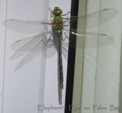 Blue Emperor dragonfly