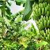 """NACION / Sueño con poder darle vida a una denominación de origen del banano colombiano"""": Presidente Duque"""