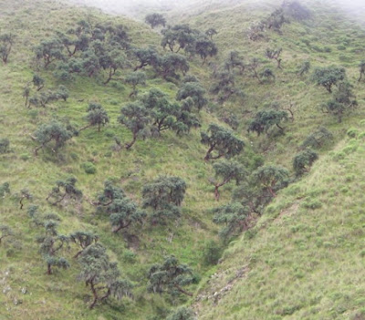 arboles amenazados de las yungas Queñoa (Polylepis crista-galli)