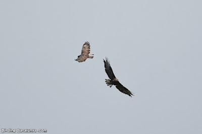 Aligots comuns volant en cercles