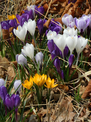 Crocus spring blooms at Toronto Botanical Garden by garden muses-not another Toronto gardening blog