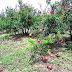 पारनेर तालुक्यात अवकाळी पावसाने फळ बागांचे नुकसान