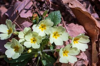 [Primulaceae] Primula vulgaris – Primrose {Primula comune}