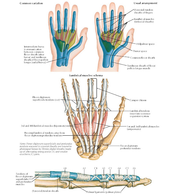 Lumbrical Muscles and Bursae, Spaces, and Sheaths: Schema Anatomy