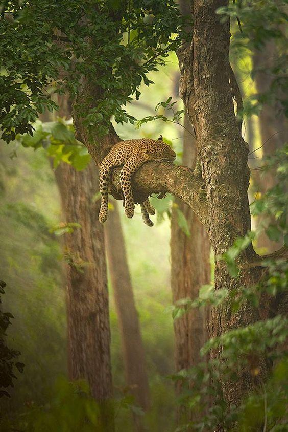 Leopardo | Panthera pardus