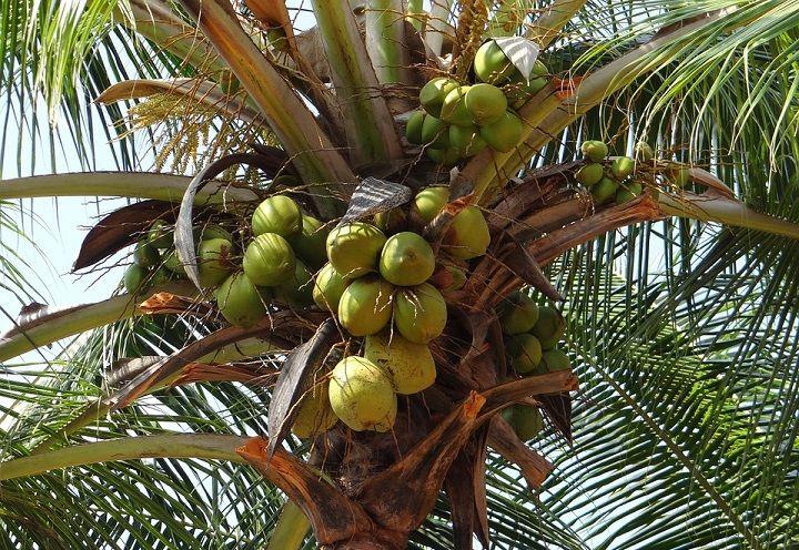 Coconut Falling on Head -Death cause