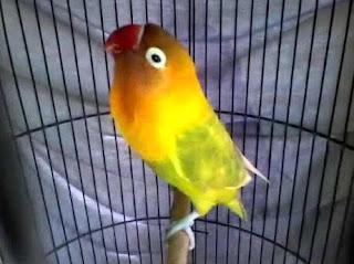 Mengetahui Ciri - Ciri Fisik Lovebird Ngekek Panjang Paling Akurat