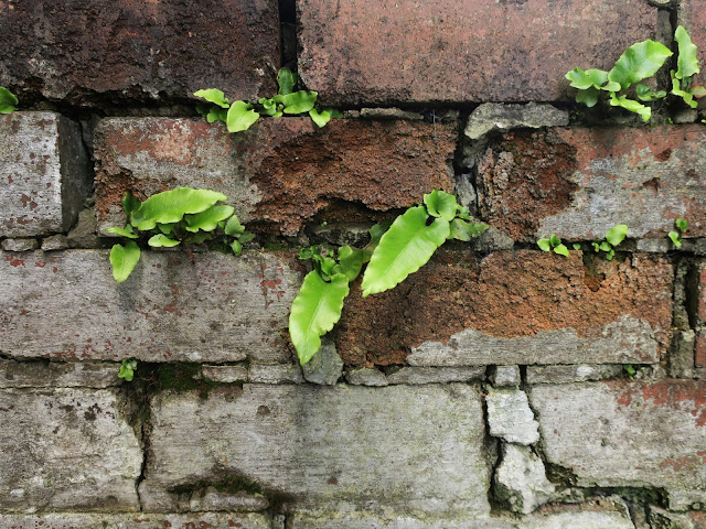 More hart's tongue ferns in the same brick wall. 1st August 2020.