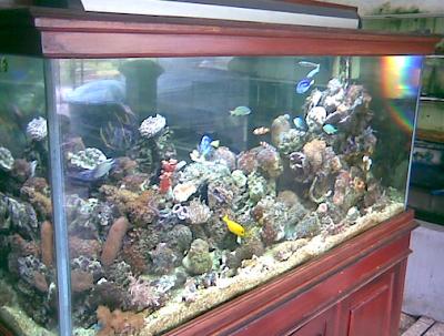 akuarium untuk Cupang Laut