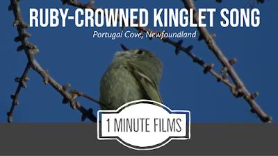 Ruby-crowned Kinglet Video