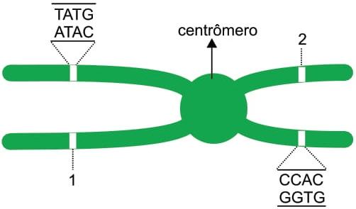 A figura mostra um cromossomo duplicado com dois pequenos segmentos de DNA