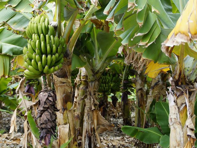 Pohon pisang menjadi liang ular