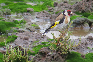 Goldfinch at Lytchett Fields © Roger Peart.