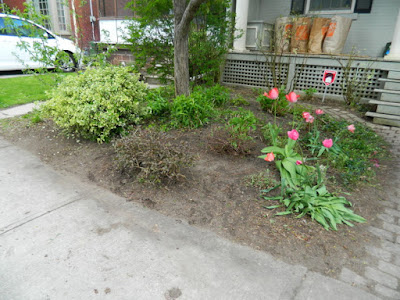 Toronto Wychwood Front Yard Spring Cleanup After by Paul Jung Gardening Services--a Toronto Organic Gardener