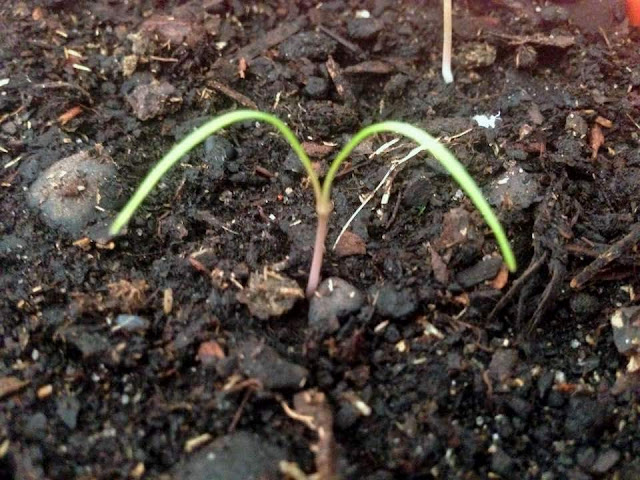 Como Cultivar FUNCHO ou Erva Doce