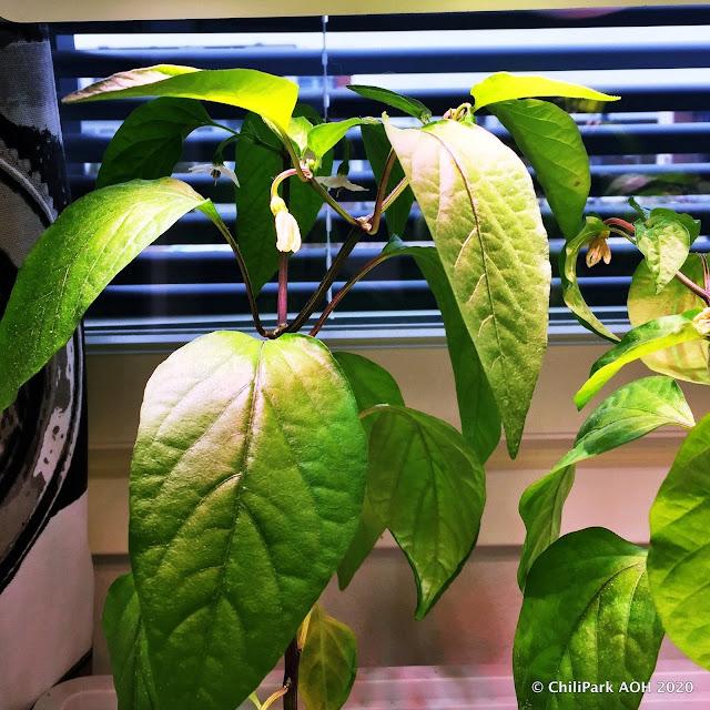 chilin kasvatus